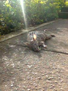 Another view of the dead rat - it's definitely not a possum.