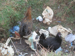 My neighbor's chickens hang out in my garbage pit like it's the community pool.  I don't get the appeal.