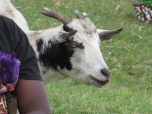 This is one of the better known goat citizens of Ilembo.  Andrew and I used to call him Stampy because he had something wrong with his hoof (it looked more like a flipper) and he had a very distinctive gait.