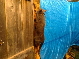 This is a pre-big escape photo, but shows how she managed to find the one small bit of wall that wasn't covered with tarp and climb up it.  I grabbed her before she made it to the top this time.
